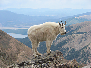 This goat achieved it's goal. Why can't you?